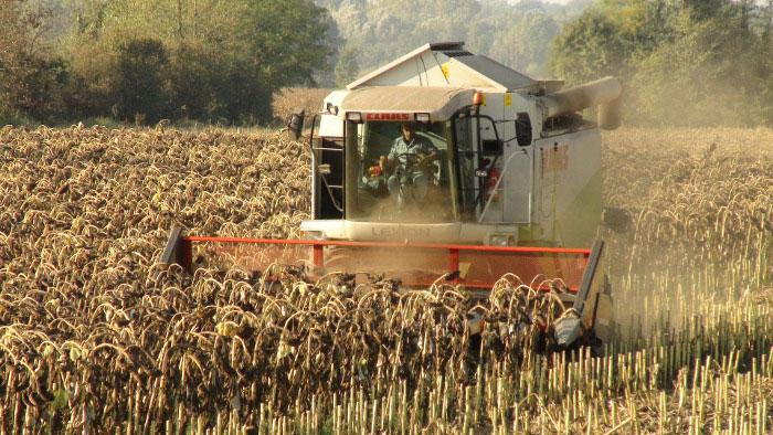 На территории Днепропетровщины собирают урожай гречки
