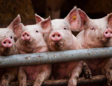 Рынок живца: свиньи резко подешевели