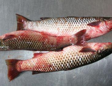 Украинцев кормят ядовитой рыбой