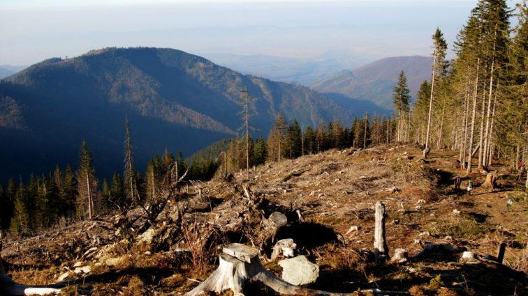 Кто зарабатывает вырубкой лесов в Закарпатье?