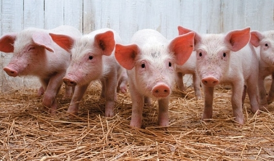 Молдаване отказались от украинской свинины