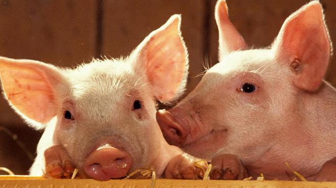 Украина в 11 раз сократила экспорт свинины