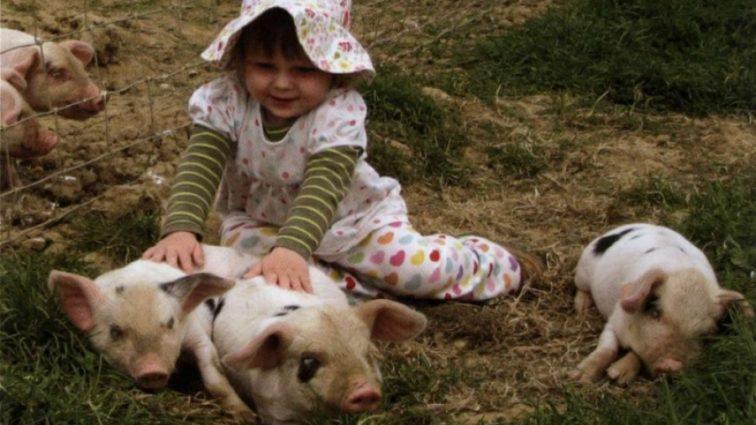 Британским младенцам пересадят свиные органы
