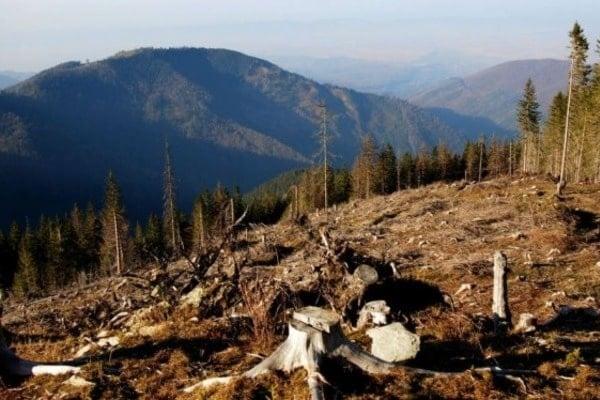 Вырубка лесов в Украине: известный журналист привел печальную статистику