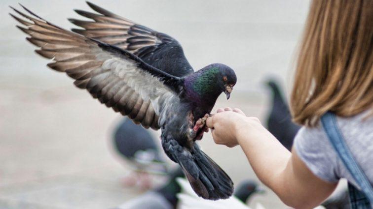 Биологи выяснили, что голуби передают в наследство