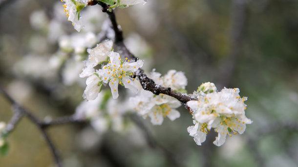 Морозный май убивает урожай фруктов и ягод в Украине