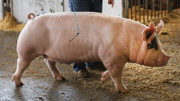 Свиноводы пугают украинцев дефицитом мяса