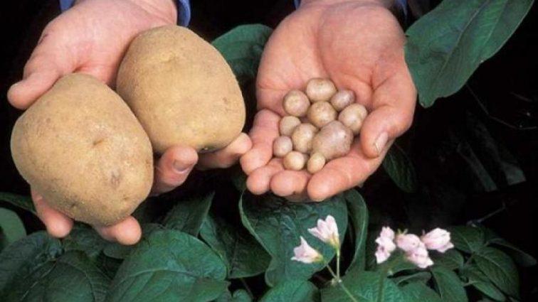 Любимый овощ: когда люди начали есть картофель
