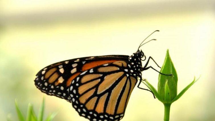 Резкое вымирание бабочек озадачило ученых