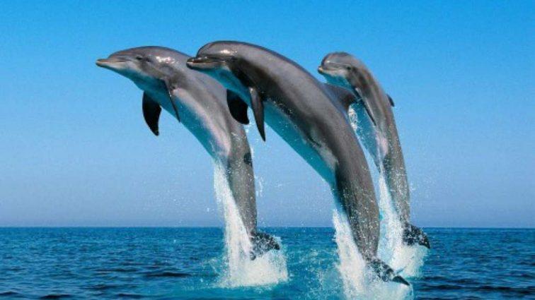 У дельфинов, которые работают с людьми, появляется особый акцент