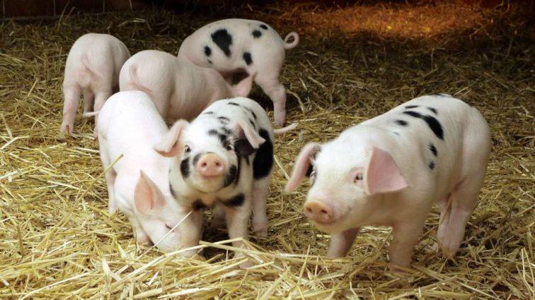 «Постные» свиньи — результат экспериментов ученых