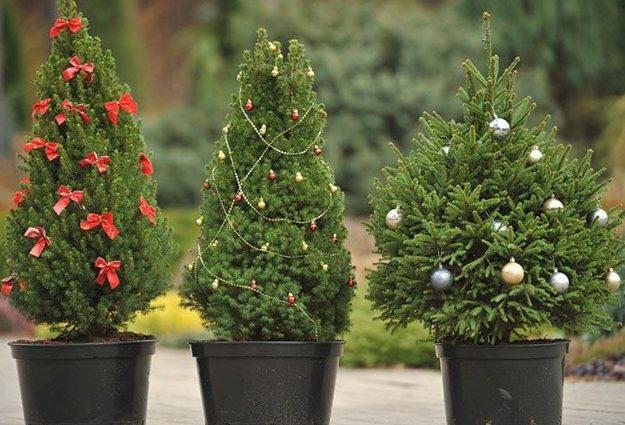 Минимум — 30 грн за метр: как цены на елки удивят украинцев