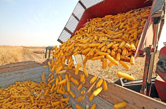 Планы ЕС ставят под угрозу поставки 40% экспорта украинской кукурузы