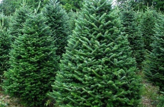 «Пора покупать» — какие цены на елки в Киеве. Где дешевле?