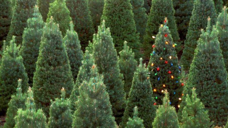 Цены на новогодние елки: где и как купить дешевле