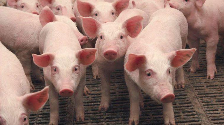 В Украине вымирает поголовье свиней: Цены растут еще выше, на какое мясо придется переходить