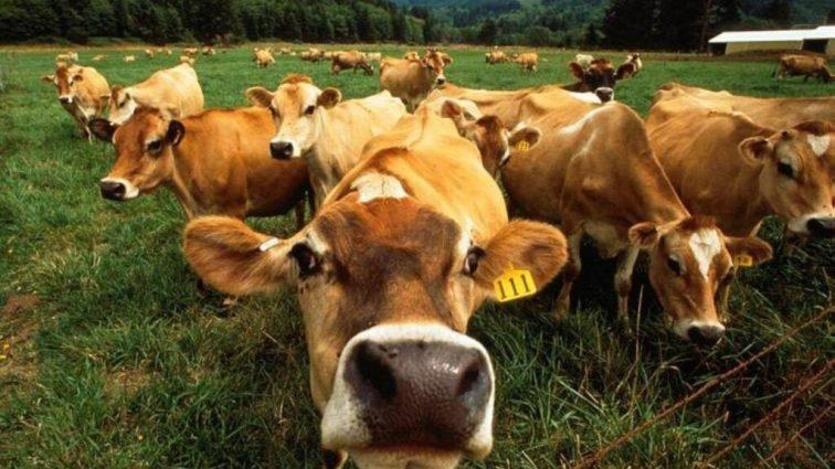 Более 3 тысяч крестьян скоро получат дотации на выращивание молодняка КРС