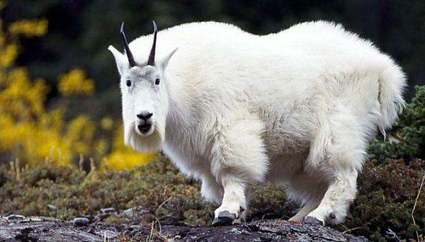 «Скрестили козу с пауком»: генетики удивили мир чрезвычайным открытием