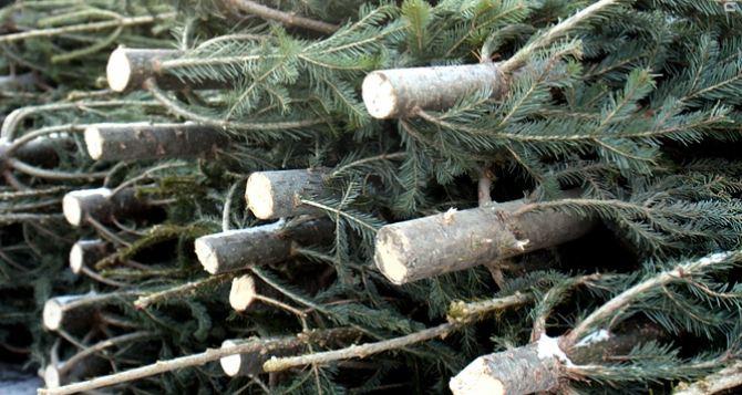 Какие штрафы ожидают украинцев за елки к Новому Году