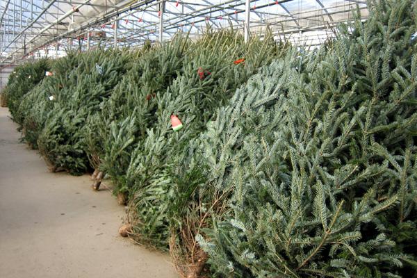 «Праздник приближается»: по какой цене можно будет приобрести елку?